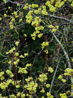 Early Bloomer, Maple, Flowers, Maple Flowers, Tree