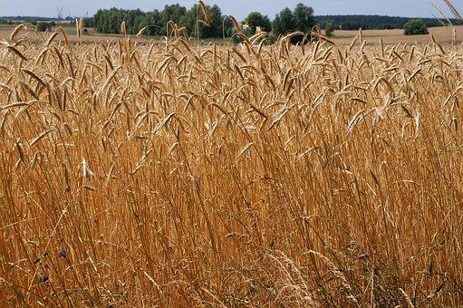 Wheat, Field, Grain, Crop, Brown, Stalks, Agriculture