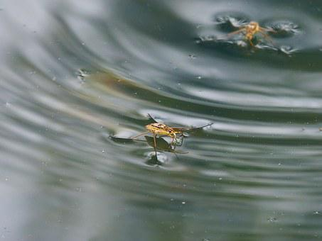 Gerridae, Guerrido, Aquatic Insect, Walk On Water, Pond