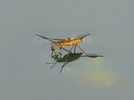 Gerridae, Guerrido, Aquatic Insect, Sabater