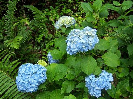 Hydrangea, Flower, Blue, Campos Do Jordão, Garden