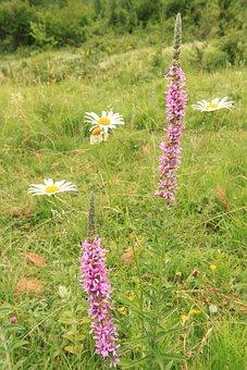 Flowers, Herbs, Loosestrife, Lythraceae, Lythrum