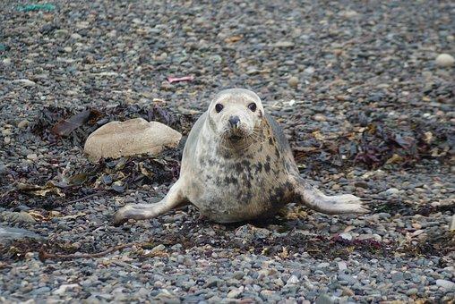 Seal, Common Seal, Mammal, Wildlife, Marine