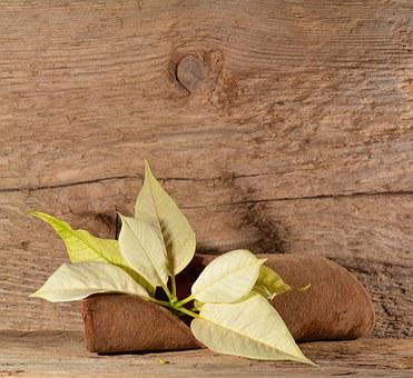 Poinsettia, Blossom, Bloom, Flower, Plant, Wood