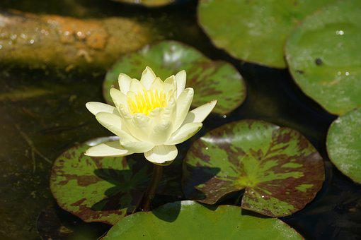 Nenuphar, Yellow, Flower, Pond, Water Lily, Basin