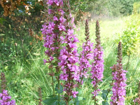 Purple Loosestrife, Purple Lythrum, Lythrum Salicaria