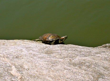 Turtle, Animal, Amphibian, Rock, Sun, Green