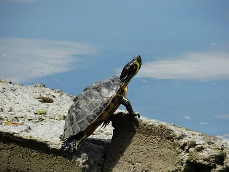 Turtle, Herastrau Park, Stone, Rock, Water