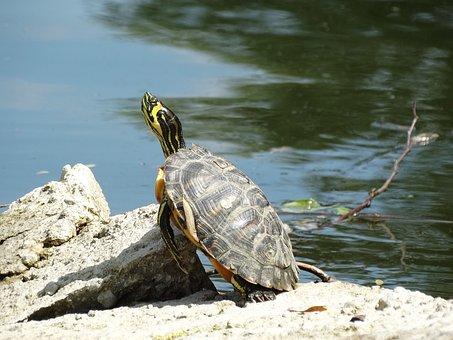 Turtle, Water, Rock, Stone, Herastrau Park