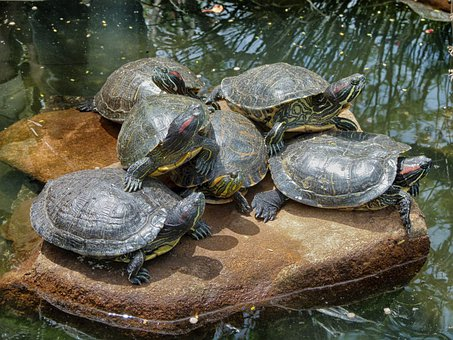 Turtles, Rock, Stream, Water, Pond, Together, Nature