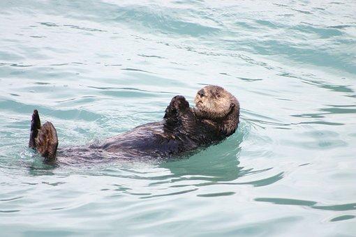 Otter, Alaska, Floating, Swimming, Sea, Ocean, Mammal