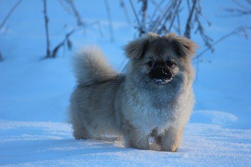 Tibetan Spaniel, Puppy, Winter, Snow Landscape