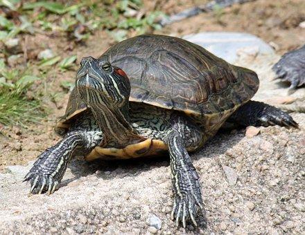 Tortoise, Animal, Rock, Sunlight, Turtle