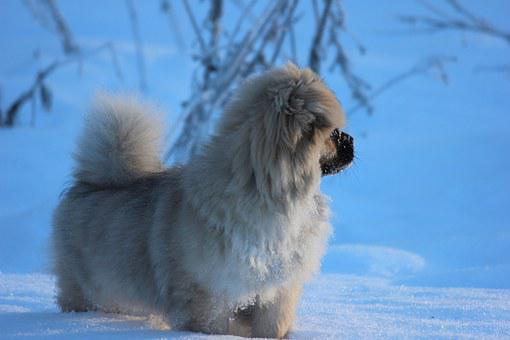 Tibetan Spaniel, Puppy, Winter, Snow