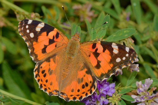 Butterfly Turtle, Butterflies, Cardui, Insect, Flower