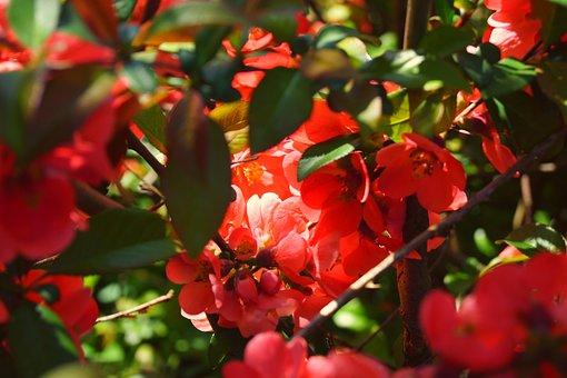Fire Bush, Spring, Blossom, Bloom, Flowers, Close, Red
