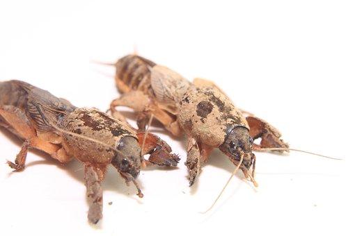 Close-up, Cricket, European, Gryllotalpa, Mole, Pest