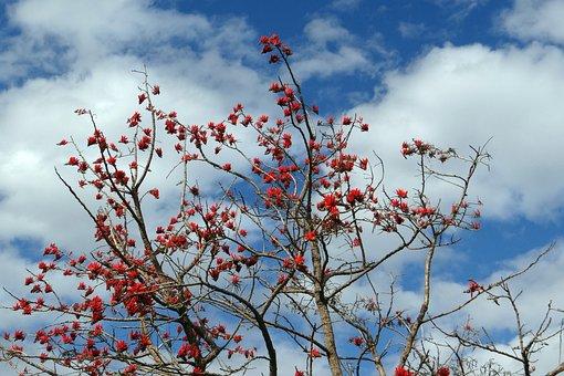Erythrina Indica, Coral Tree, Sunshine Tree, India