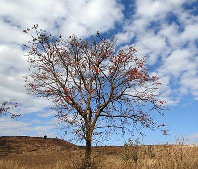 Erythrina Indica, Coral Tree, Scarlet, Flower