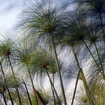 Cyprus Grass, Okavanga Delta, Africa, Safari, Botswana