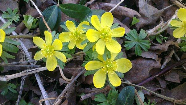 Winter Aconite, Spring, Flowers, Yellow, Garden, Forest
