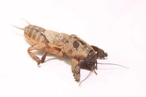Cricket, European, Gryllotalpa, Mole, Pest, Underground