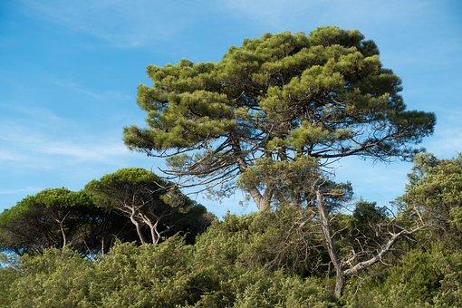 Pine, Forest, Sky, Blue, Tree, Maremma, Italy