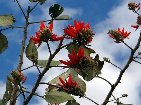 Erythrina Indica, Flower, Scarlet, Coral Tree