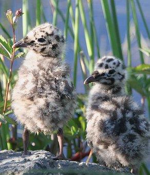 Canus, Larus, Chicks, Gull, Mew, Bird, Seagull, Birds