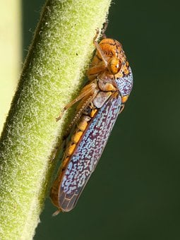 Cicada, Zwergzikaden, Oncometopia Orbona, Small Cicada