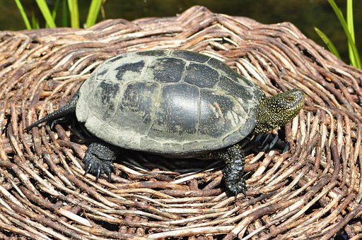 Turtle, The Animal, Small