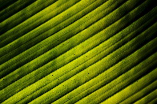 Leaves, Banana, Light, Green, Tree, Plant
