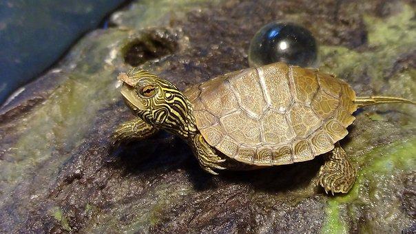 Small Turtle, Turtle With Food, Reptile, Zoo, Aquarium