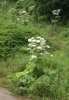 Giant Hogweed, Hogweed, Plant, Toxic, Burns, Large
