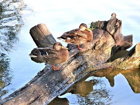 Mallard, Ducks, Tree Trunk, River, Canada, Animals