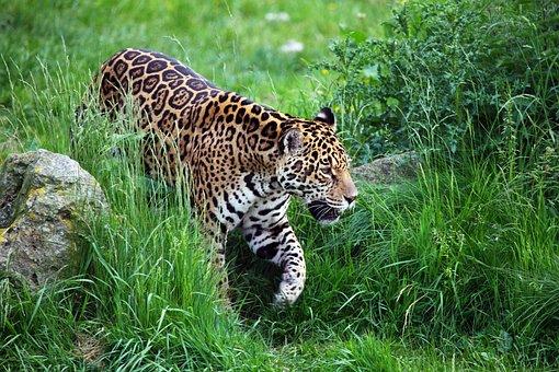 Animal, Carnivore, Cat, Dangerous, Endangered, Feline
