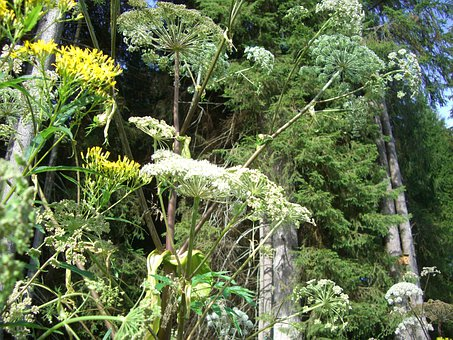 Giant Hogweed, Doldengewaechs, Hogweed, Blossom, Bloom