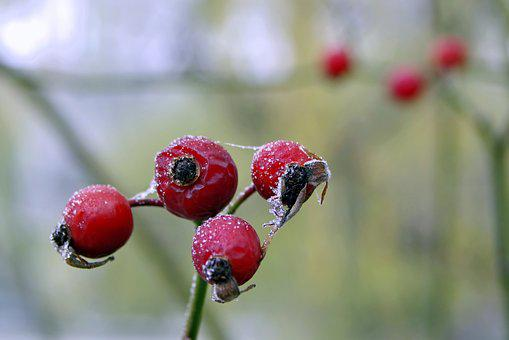 Wild Rose, Frost, Winter, Fruit, Ice, Frosty, Not Cold