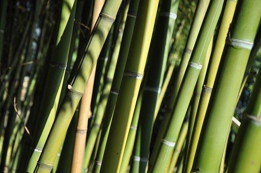 Bamboo, Ticino, Brissago Islands, Plant, Green