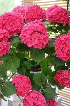 Hydrangeas, Pink, Decoration, Hydrangea, Flower Buds