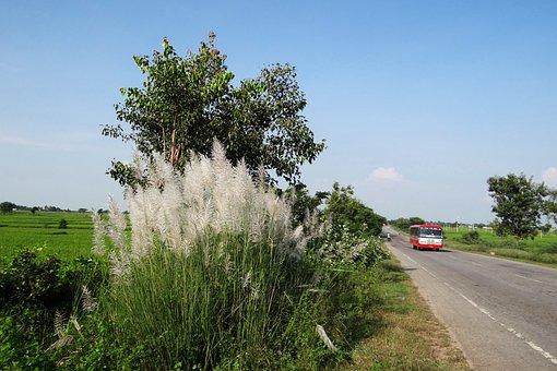 Kans Grass, Saccharum Spontaneum, Wild Sugarcane