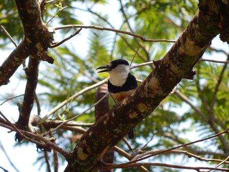 Bird, Vertebrate, Nature, Animal, Macuru