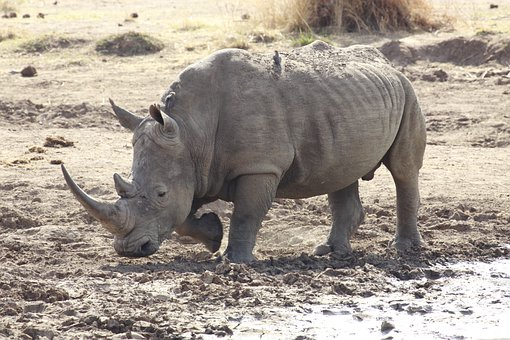 White Rhinoceros, Rhino, Wild, Nature, Mammal, Animal