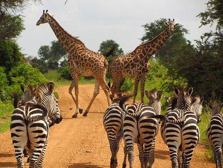 Zebras, Tanzania, Mikumi, National, Park, Animal, Wild