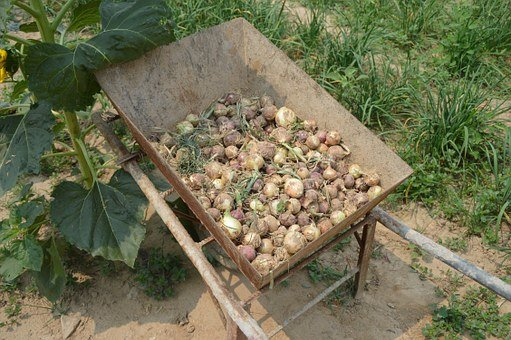 Onions, Harvest, Pile, Wheel Barrel, Farm, Garden