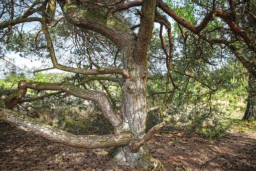 Pine, Heathland, Nature Reserve, Maas Dunes