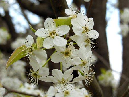 Bradford Pear, Tree, Flower, Bloom, Blossom, Nature