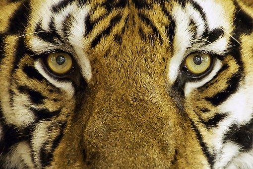 Tiger, Feline, Wild, Wild Animal, Zoo, Animal