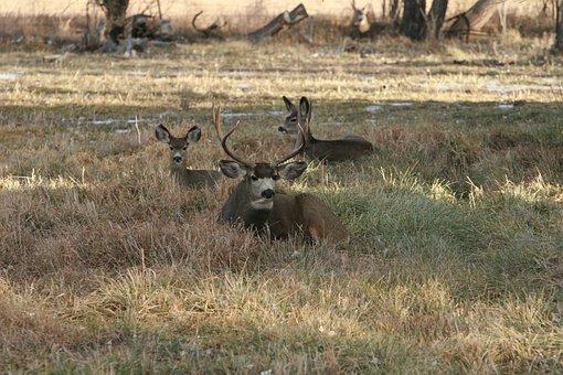 Deer, Bedded Down, Looking, Animal, Wildlife, Wild