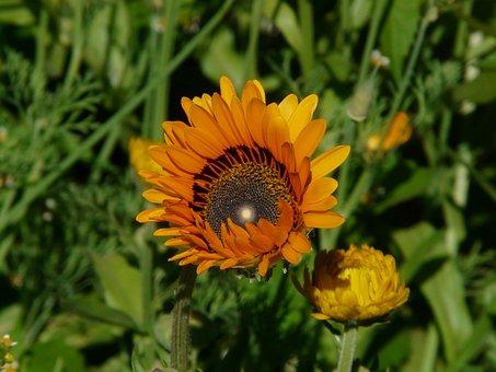 Colorful Daisy, Feverfew, Ismelia Carinata
